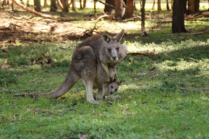 Mummy and baby Kangaroo